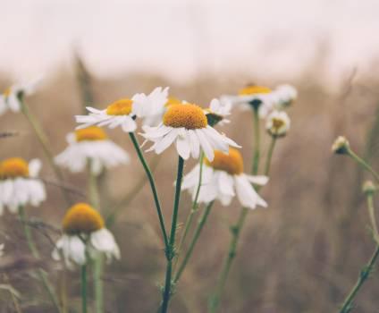 daisy daisies flowers  #18720