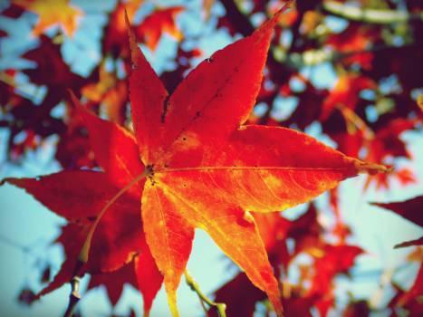 maple leaf leaves tree  Free Photo