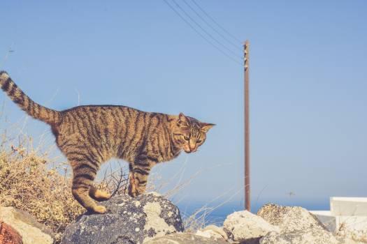 Tiger Cat Feline Free Photo
