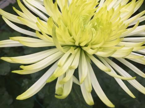 Petal Plant Dandelion #188404