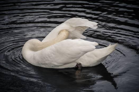 Goose Bird Egret Free Photo