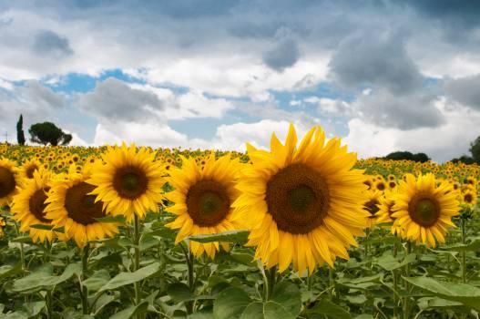 sunflowers garden fields  Free Photo