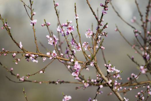 pink blossoms tree  Free Photo