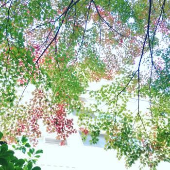 Maple Oak Tree #189836