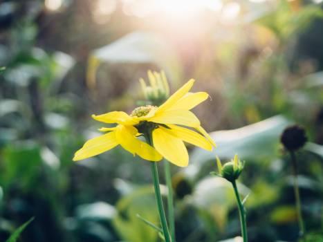 Sunflower Flower Plant #189940