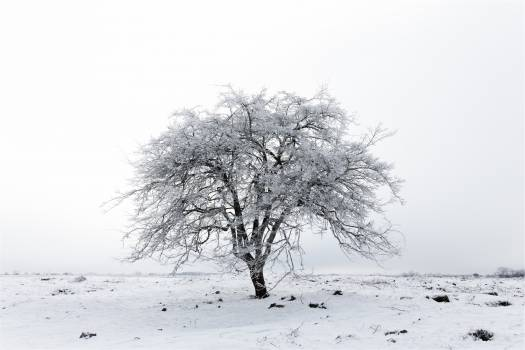 tree winter snow  Free Photo