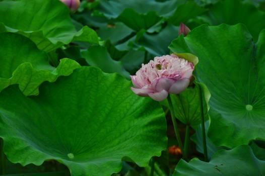 Rose Flower Plant Free Photo
