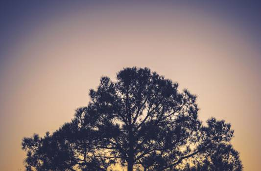 tree silhouette branches  Free Photo