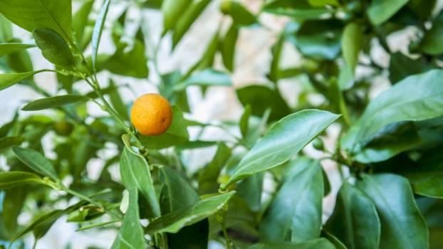 Orange Citrus Fruit #190783