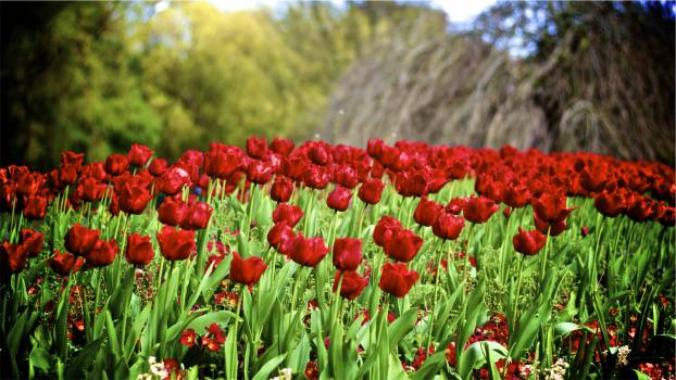 red tulips flowers  Free Photo