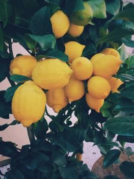 yellow lemons plant  #19091