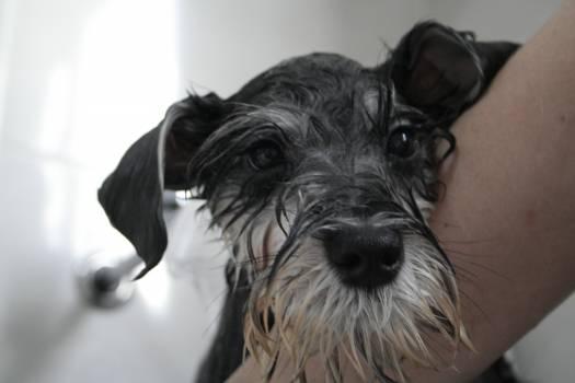 Miniature schnauzer Schnauzer Terrier #191016