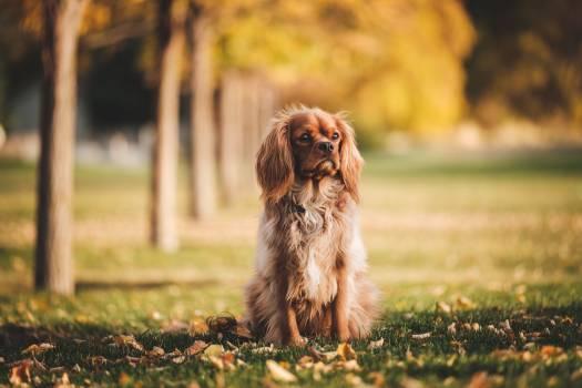 Sussex spaniel Spaniel Sporting dog Free Photo