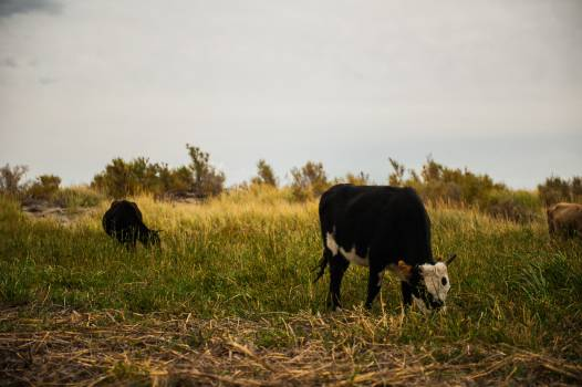 Cow Ranch Farm Free Photo