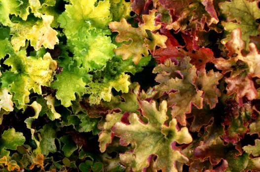 Lettuce Vegetable Leaf Free Photo