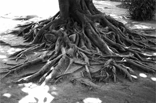tree roots black and white  #19174