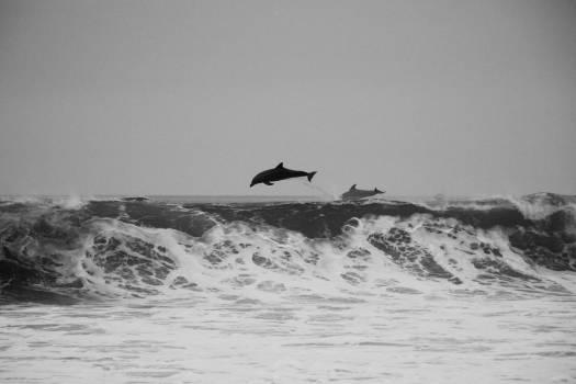 dolphins ocean sea  #19198