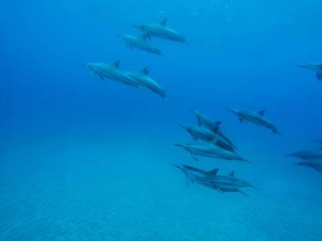 dolphins underwater ocean  Free Photo