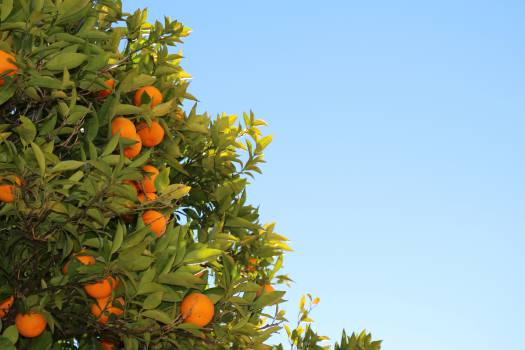 oranges fruits tree  #19306