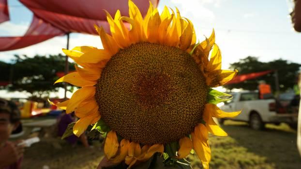 Sunflower Flower Yellow #193203