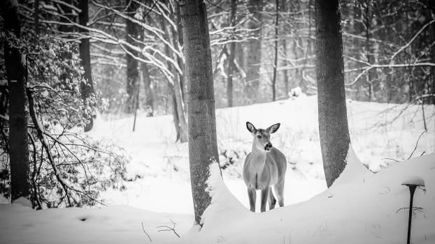 deer animal woods  #19366