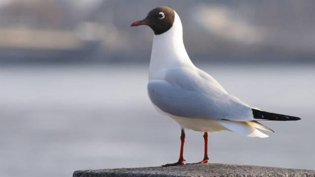 bird seagull animal  #19470