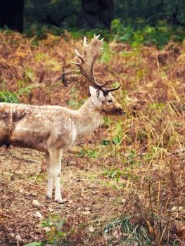 Buck Placental Mammal Free Photo