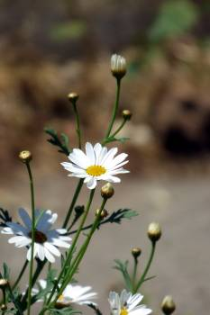 Flower Daisy Chamomile #194991