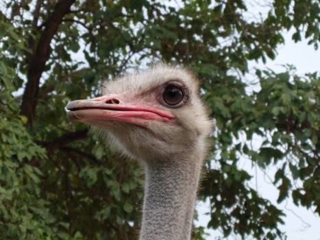 Ostrich Bird Beak #195043