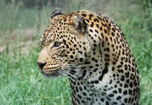 Leopard Fur Feline #195069