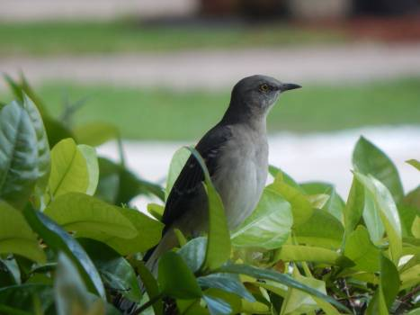 Bird Nightingale Wildlife Free Photo