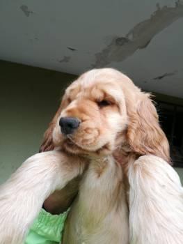 Retriever Golden retriever Sporting dog Free Photo
