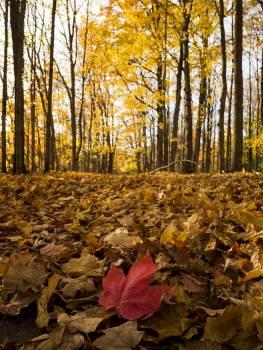 November Autumn Maple #195332