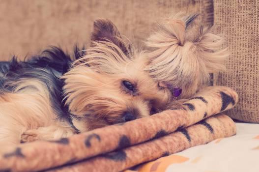 Yorkie Yorkshire Terrier dog  #19540