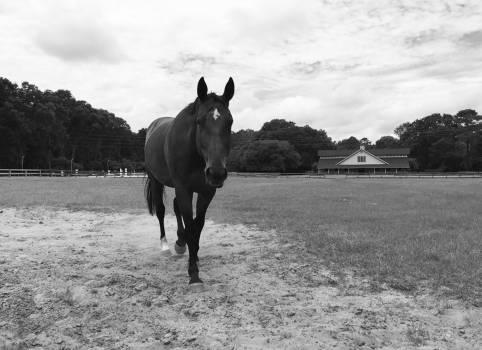 Horse Dog Kelpie #195802