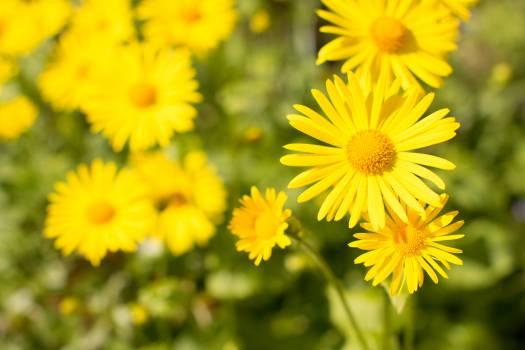 flower garden yellow  Free Photo