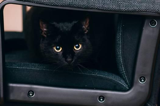 black cat eyes  Free Photo