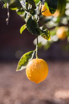 lemons trees fruits  #19635
