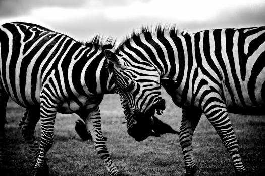 zebras animals black and white  #19643