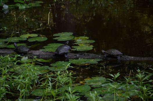 Alligator Platypus River Free Photo