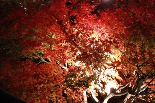 Maple Autumn Season #196993