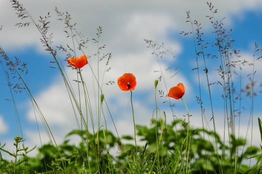 red poppies fields  Free Photo