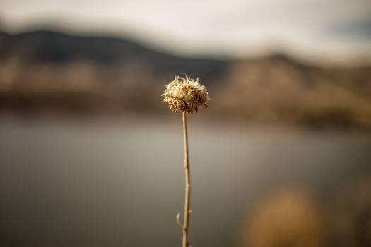 Dandelion Plant Herb Free Photo