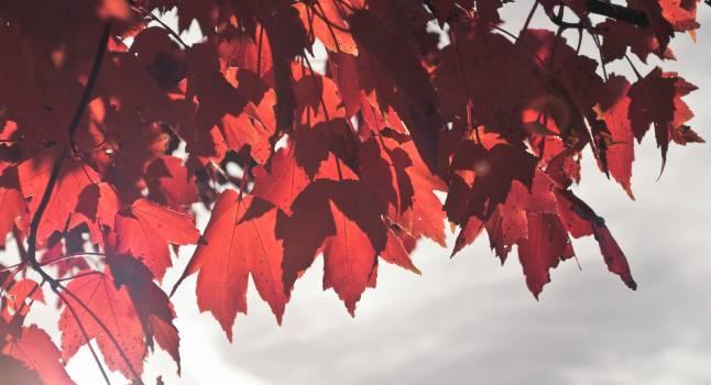 Maple Autumn Leaves #197803