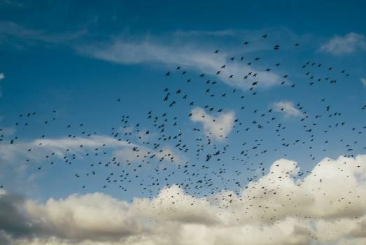 flock birds flying  Free Photo