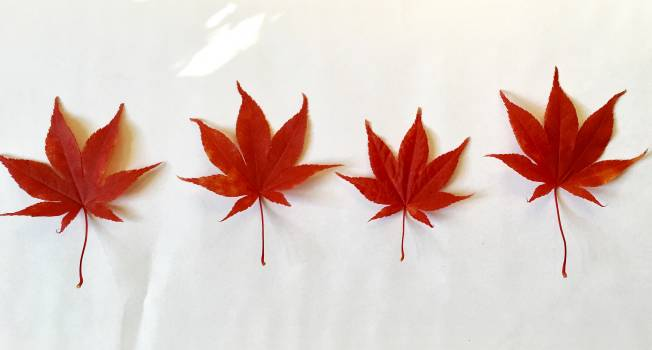 Maple Lily Season #198375