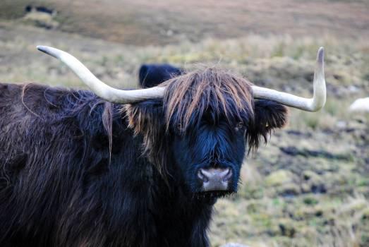 Ox Cattle Bovine Free Photo