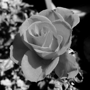 Rose Shrub Flower #198709