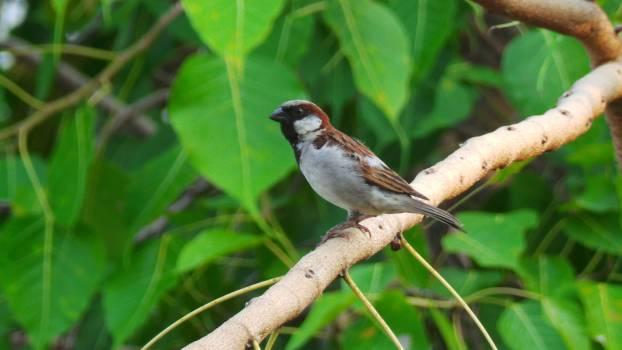 Bulbul Chickadee Nightingale Free Photo