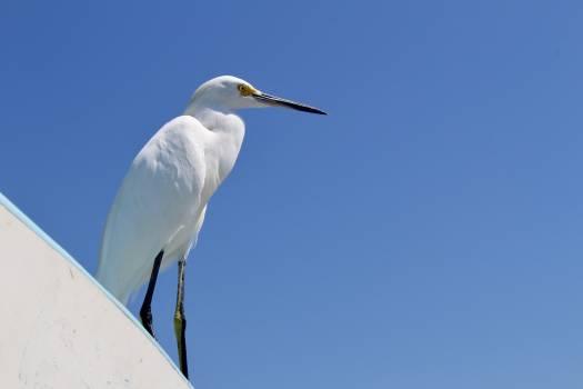 Egret American egret Wading bird Free Photo